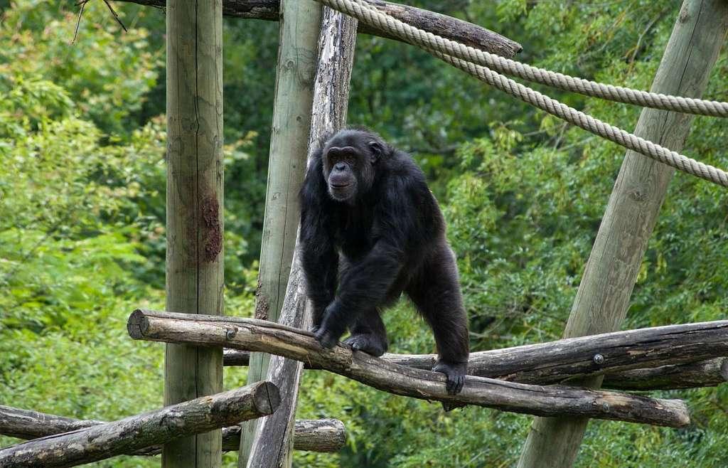 Les chimpanzés se battent aussi pour l'accès aux femelles. Les combats entre mâles peuvent être parfois très violents, mais rarement mortels. Sauf dans le cas où un individu mâle étranger tombe sur un groupe voisin... © JoyTek, Flickr, cc by sa 2.0