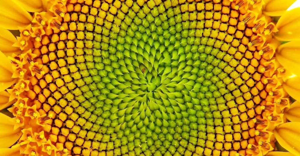 Cœur de tournesol. © Ginette, CC by-nc 2.0