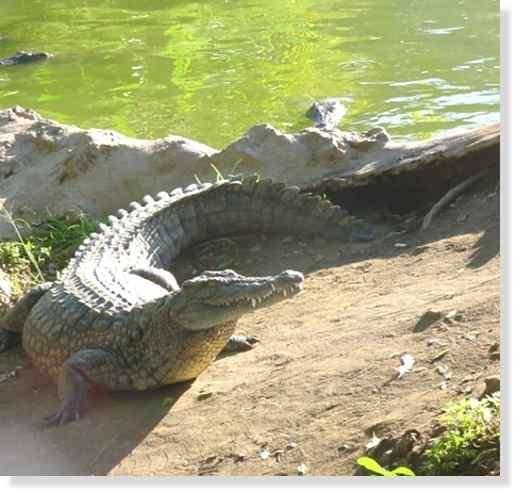 Crocodile du Nil © Photo Philippe Mespoulhé Reproduction interdite