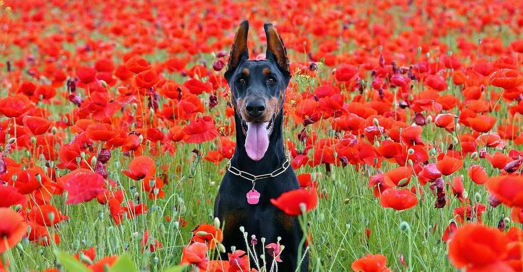 Au XVIIe siècle, l'Angleterre taxait non pas les chiens… mais leur queue! Ainsi les propriétaires de chiens avaient-ils tendance à la faire couper. Aujourd'hui encore, la queue des dobermans, par exemple, est généralement coupée. Ce qui prive l'animal d'un moyen d'expression. © YamaBSM, Pixabay, CC0 Creative Commons