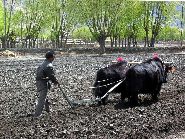 Si la traction animale reste utilisée au Tibet, on trouve aussi dans les villages des petits tracteurs et des batteuses. © Nathan Freitas, Wikimedia Commons, cc by sa 2.0