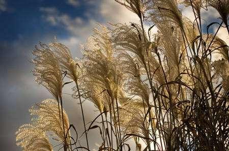 Des gerbes sont éclairées par le soleil de fin d'après-midi. Symbole de l'automne, cette graminée est munie d'une tête qui diffuse admirablement bien la lumière la traversant. © Morpholux, Flickr, CC by-nc-sa 2.0