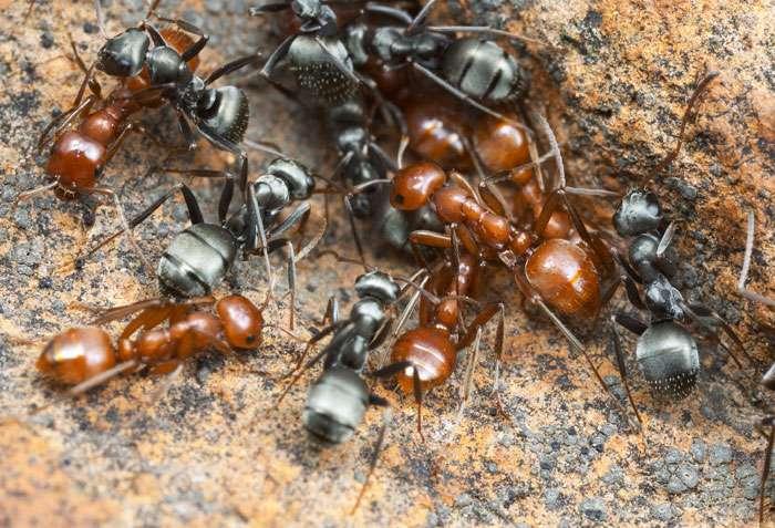 Le nid mixte des fourmis esclavagistes (couleur rouge-orange) et esclaves (couleur grise). © A. Wild