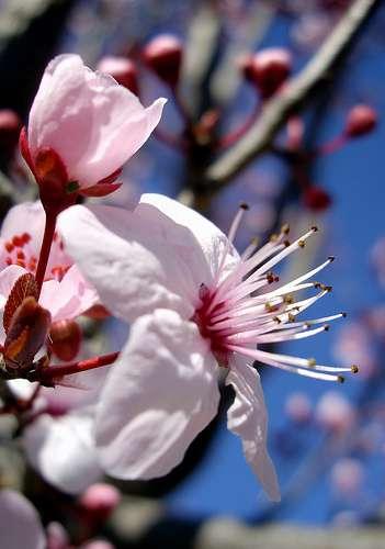 Le prunier de Pissard est originaire d'Iran. © Bambo, Flickr CC by nc-sa 2.0
