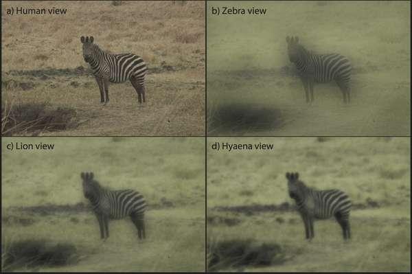 La photo d'un zèbre en milieu ouvert modifiée pour restituer la vision humaine (Human view), celle d'un zèbre (Zebra view), d'un lion et d'une hyène (Hyaena view). Aucun de ces observateurs n'est gêné par les rayures, qui n'ont donc rien d'un camouflage. © Amanda Melin et al., Plos One