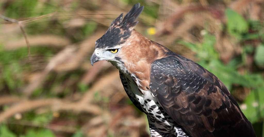 L'aigle orné est un prédateur du toucan. Il mesure entre 58 et 64 cm de long et pèse 1.200 g. © Nathan Rupert, CC by-nc 2.0