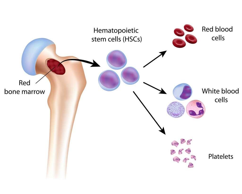 Dans la moelle osseuse, se trouvent les cellules souches hématopoïétiques qui sont à l'origine des globules rouges, blancs, et des plaquettes sanguines. © Alila Medical Media, Fotolia