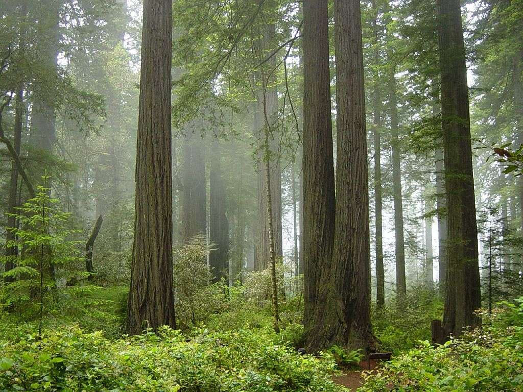 Red Wood National Park. © Michael Schweppe - cc by nc 2.0