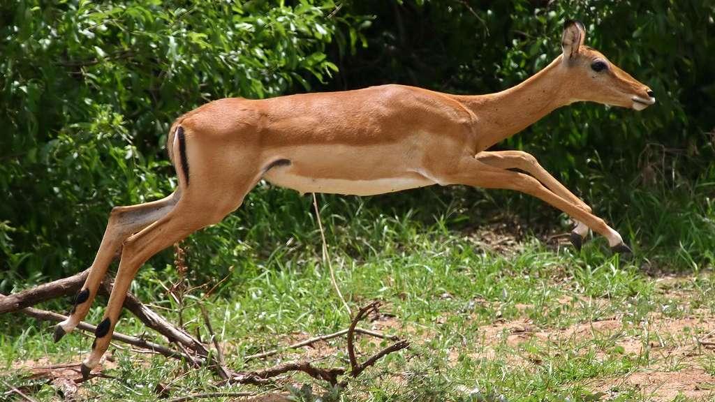 Photo d'impala en plein saut