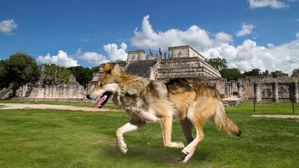 El lobo, le loup vénéré puis détesté au Mexique