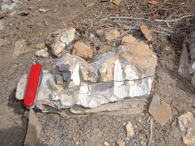 Gros plan sur les dents de la mâchoire inférieure de l'ichtyosaure Thalattoarchon saurophagis. Il a fallu trois semaines pour extraire le fossile de la roche. Il a ensuite été transporté par hélicoptère puis par camion jusqu'au Field Museum de Chicago. © Nicole Klein, université de Bonn, Allemagne
