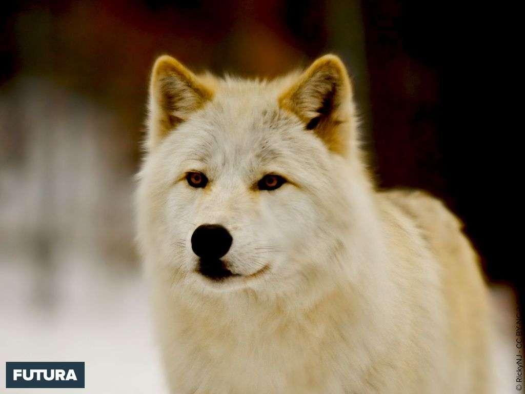 Loup d'arctique