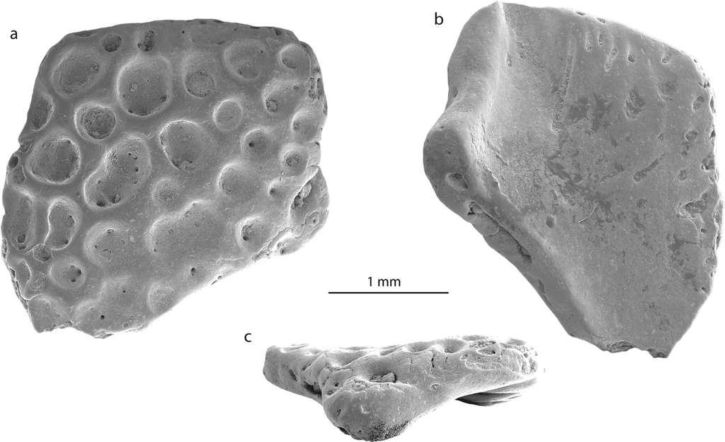 Un fragment d'os du crâne de la grenouille des îles Seymour. Vue dorsale (a), vue ventrale (b) et latérale (c). © Mörs et al. Scientific Reports