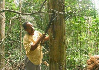 En forêt, à Saül (Guyane), prélèvement d'écorce de Maria congo (Geissospermum sp.). Cette écorce amère jouit, dans toute la Guyane, d'une très bonne réputation contre le paludisme. © IRD, Geneviève Bourdy, tous droits de reproduction interdits