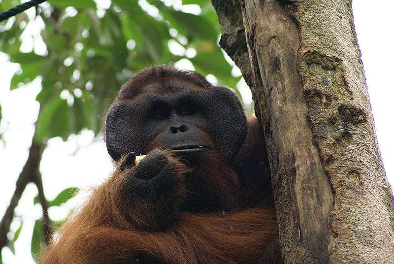 Orang outan mâle. © Eleifert, GNU FDL Version 1.2