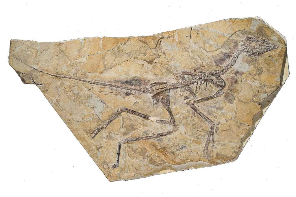 Le fossile d'Aurornis xui était conservé dans un musée chinois depuis plusieurs années, sans avoir été étudié. Qui sait combien de trésors renferment encore de telles institutions ? © Thierry Hubin, IRSNB