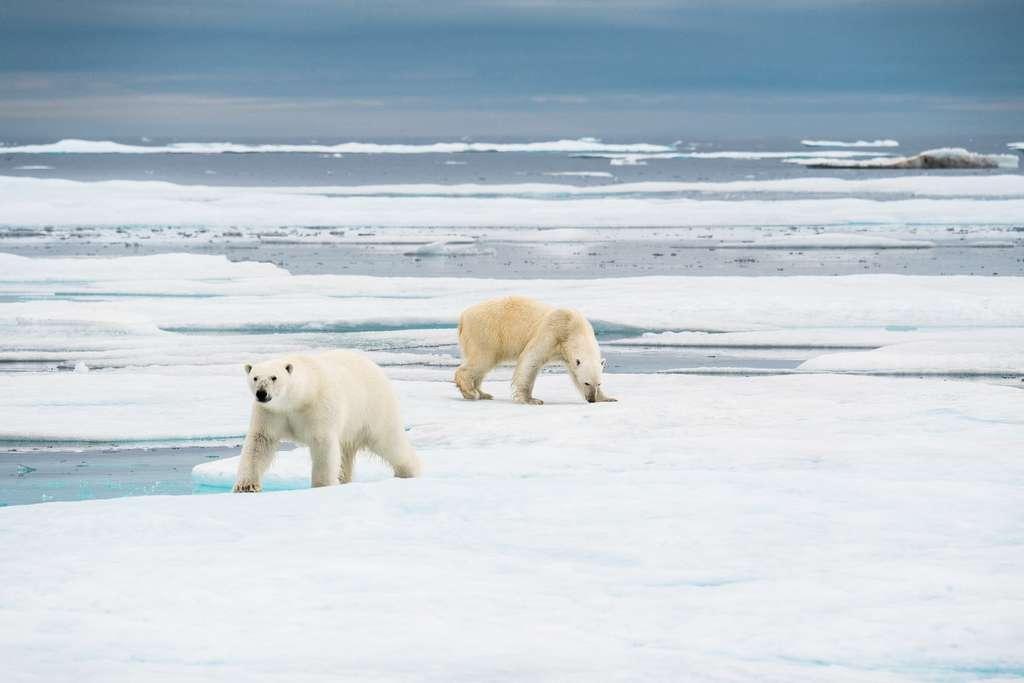 Deux ours pour un seul phoque