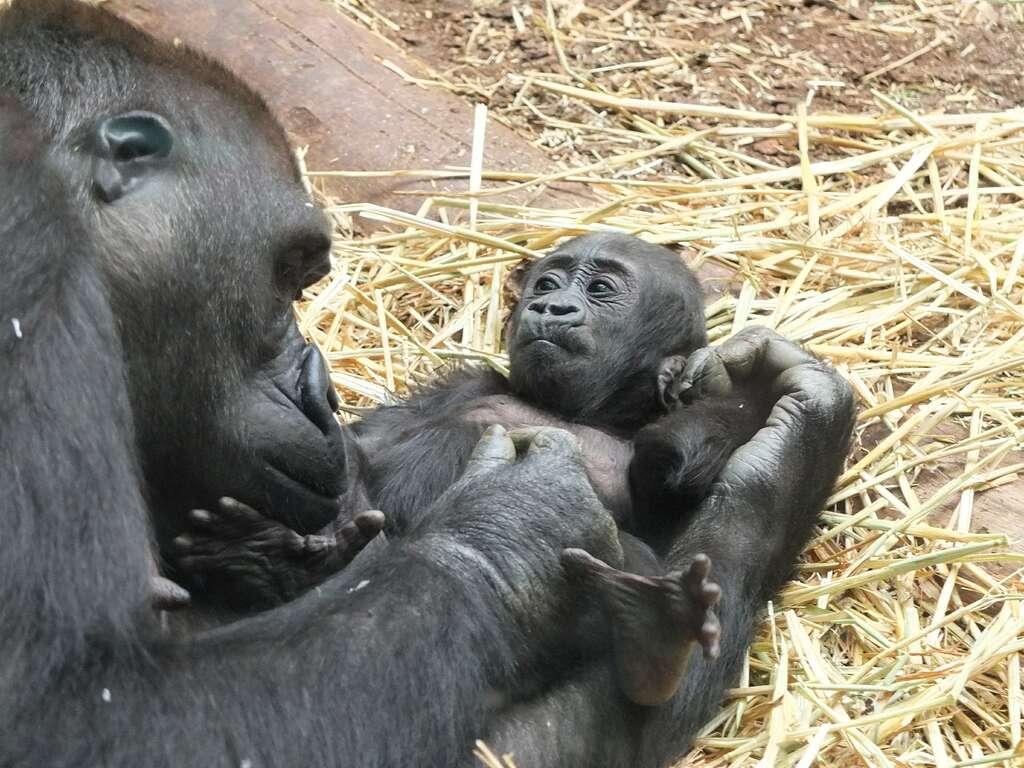 Bébé gorille et sa maman