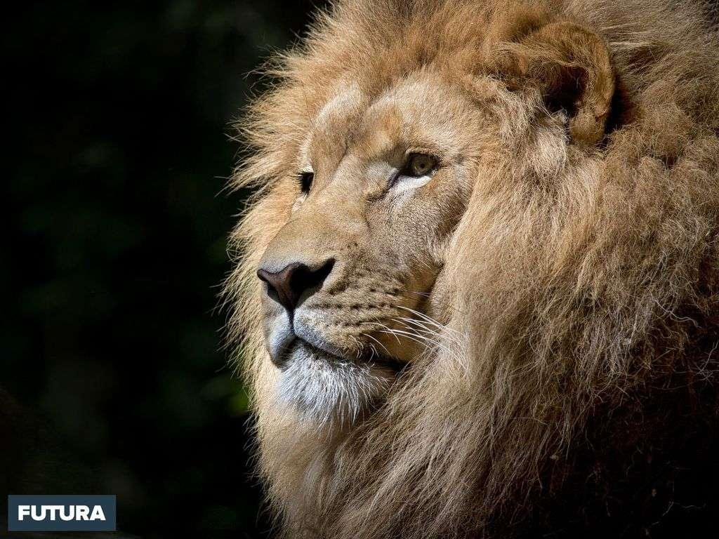 Les lions sont « en danger critique », il y a 25 ans ils étaient 43 % plus nombreux, ils ne sont plus que 35.000.