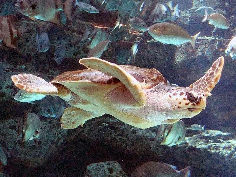 Tortue caouanne dans l'aquarium d'Atlanta. © Mike Gonzalez, CC BY-SA 3.0