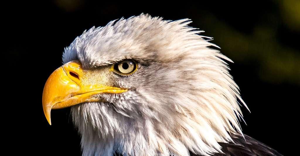 Pygargue à queue blanche. © Kathy2408, Pixabay, DP