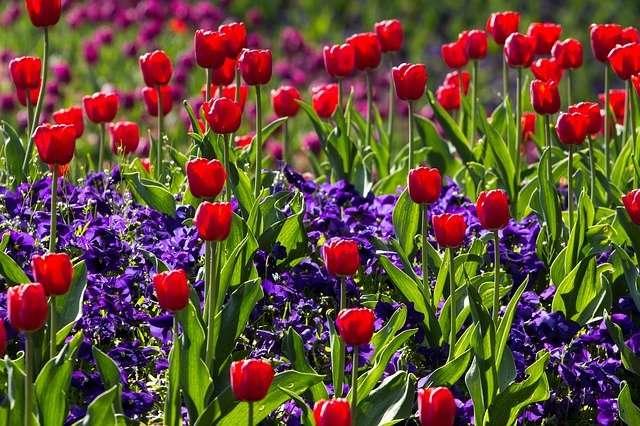 Tulipes et muscari pour un massif bicolore. © Domeckopol, Pixabay, DP