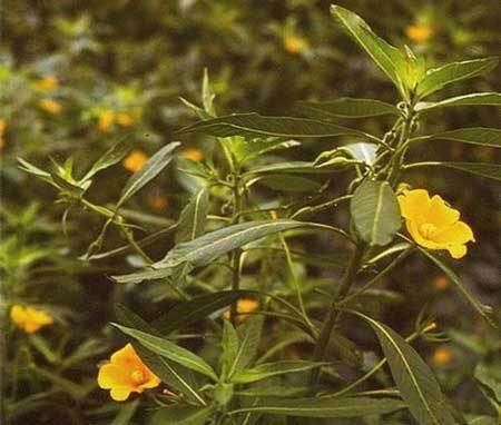La plante de jussie. © DR