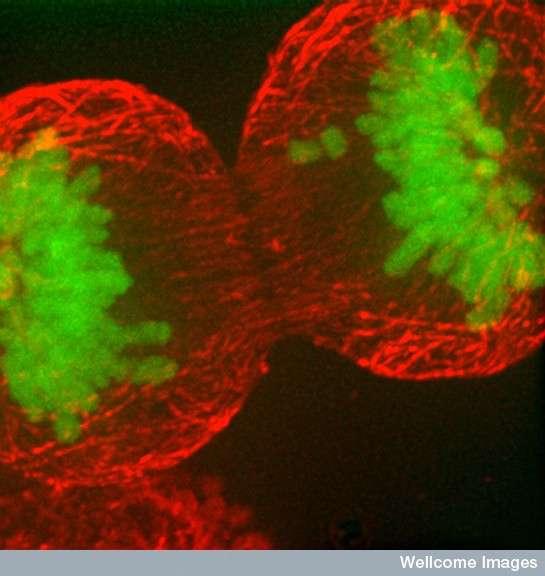 Lors d'une division cellulaire, la molécule d'ADN doit être intégralement copiée afin que chaque cellule-fille en ait un exemplaire. Or, sur les 3,5 milliards de bases azotées à replacer, il arrive qu'il y ait quelques fautes de frappe, substituant un nucléotide par un autre, modifiant ainsi le génome. Plus on fait de copies, plus les risques de divergence par rapport à l'original deviennent importants. © William J. Moore, université de Dundee, Wellcome Images, cc by nc nd 2.0