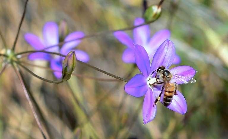 Pour indiquer aux autres abeilles la distance d'une source abondante de nourriture, une abeille fait varier le temps de vibration de son corps. © Frederic J. Brown, AFP