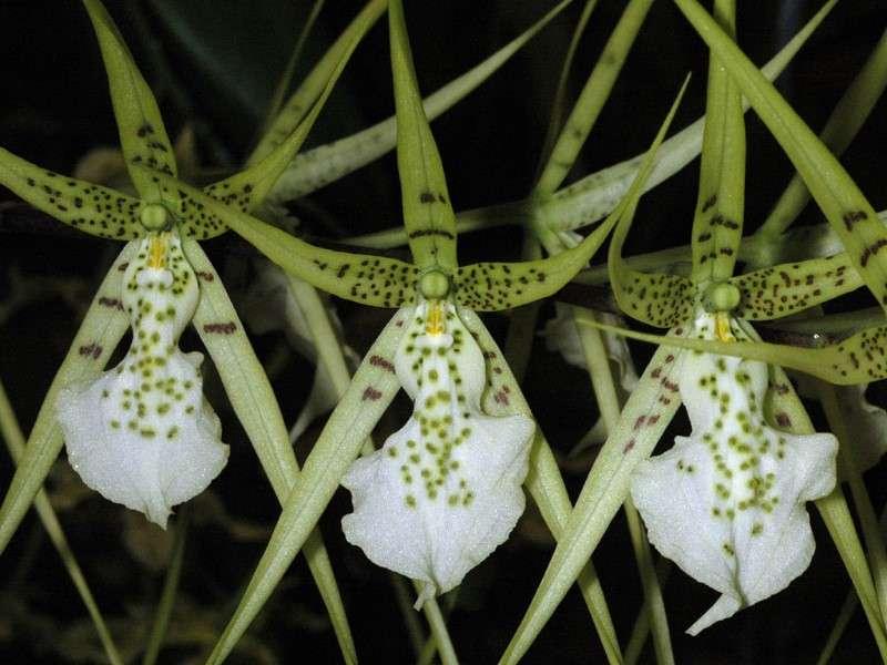 Orchidée Brassia verrucosa