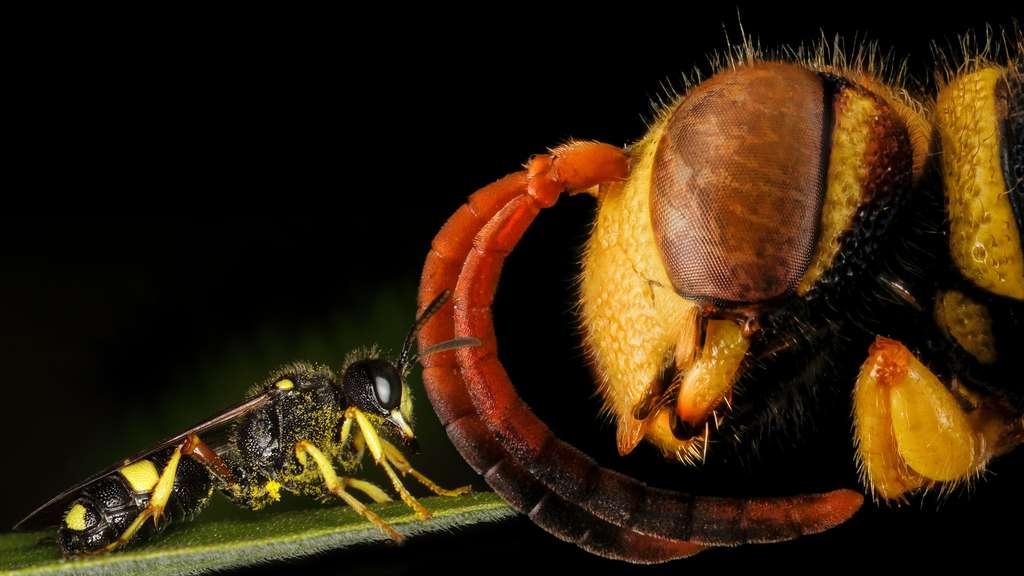 Les Cerceris, des insectes au regard étrange