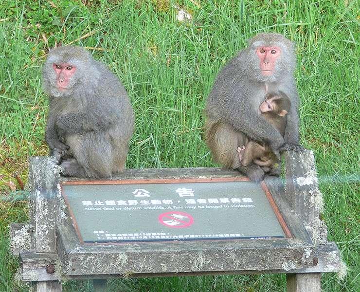 Macaques avec un jeune. © WikiLaurent, CC by-SA 3.0