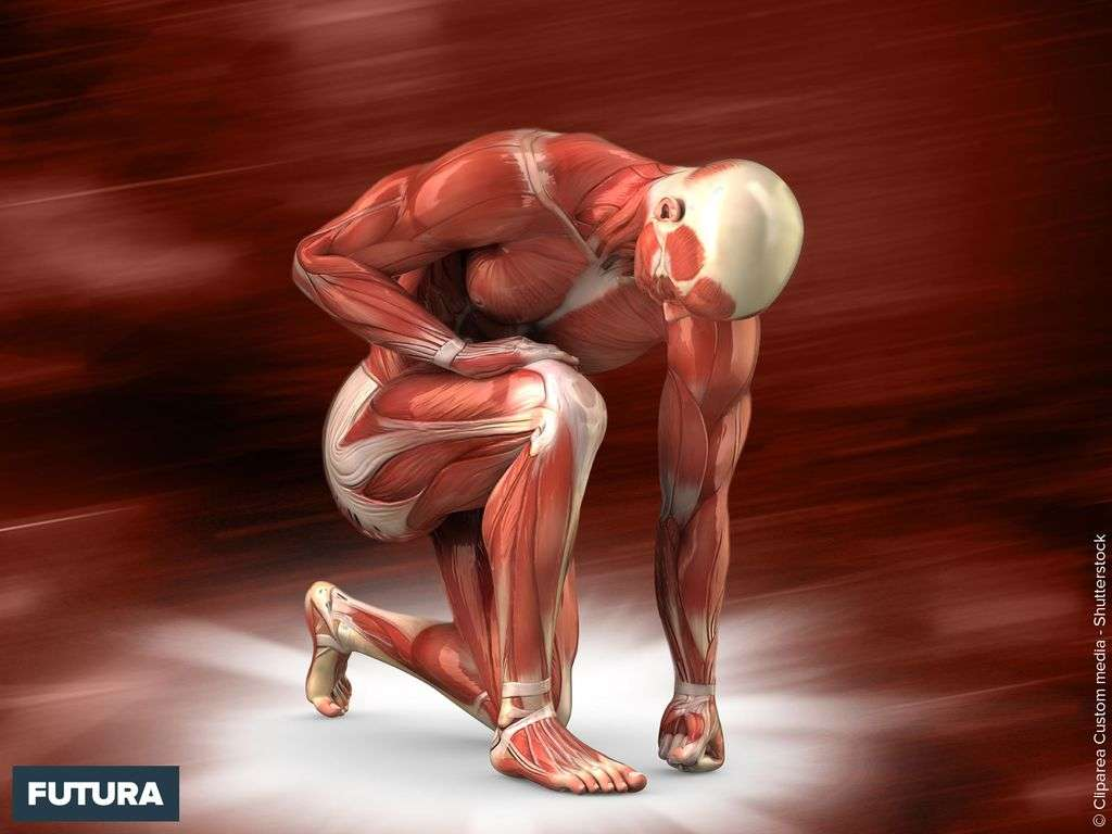 Homme anatomie musculaire