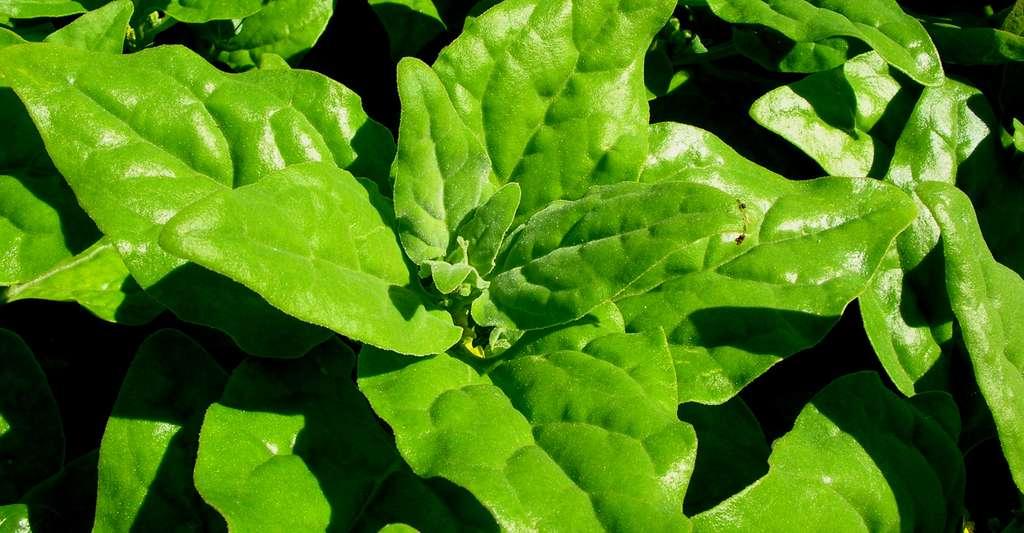 La tétragone cornue (Tetragonia expansa) est une salade qui a toute sa place dans les potagers. © Forest & Kim Starr, CC by-sa 3.0