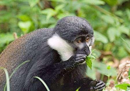 Un cercopithèque de l'Hoest (Cercopithecus l'hoesti), au Nyungwe National Park (Rwanda). Crédit : CI/John Martin