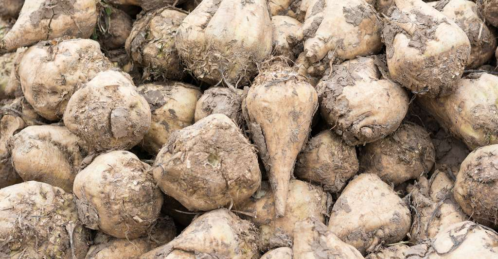 Sugar beet is one of the plants from which sugar is extracted. In France, it is mainly cultivated in the northern part of the country. It is she who gives the majority of the sugar we consume.