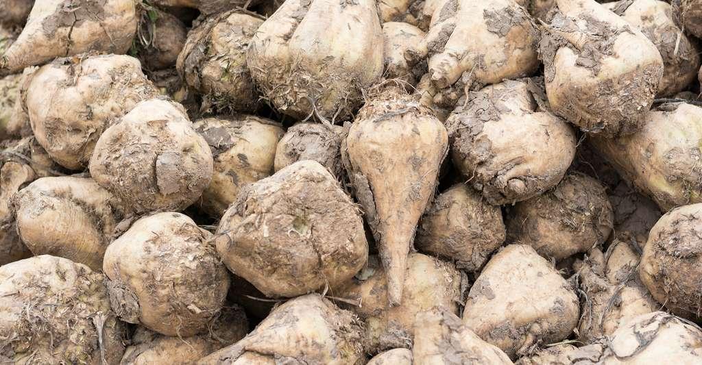 La betterave sucrière est l'une des plantes de laquelle est extrait le sucre. En France, elle est essentiellement cultivée dans la partie nord du pays. C'est elle qui donne la majorité du sucre que nous consommons. © Christian Knoblauch, Shutterstock