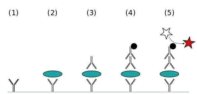 Test Elisa direct. Cette fois, on teste la présence de l'antigène p24, provenant du VIH. Si à la fin du test le milieu change de couleur, alors c'est le signe que le VIH est présent dans le sang. On peut le détecter six semaines après la contamination, ce qui permet de mettre en évidence une séropositivité plus précoce qu'avec le seul test Elisa indirect. © Jeffrey M. Vinocur, Wikipédia, cc by 2.5