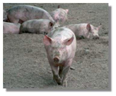 Les protéines de phase aiguë (PPA) peuvent signaler la présence d'infections dans des élevages qui ne répondent pas aux meilleures conditions d'hygiène. Recherche du Professeur Gruys, Université d'Utrecht