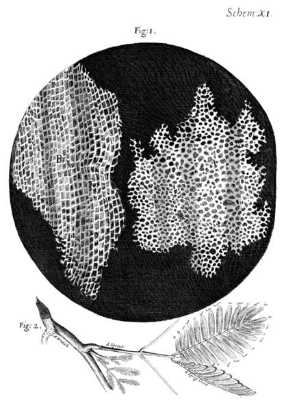 Dessin de cellules observées dans des coupes d'écorce d'arbre par Robert Hooke, en 1665. © DP