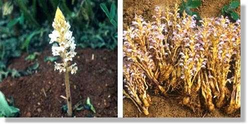 Hampe florale d'orobanche crenata attaquant les légumineuses dans les pays du bassin méditerranéen (à gauche) et hampes florales ramifiées d'orobanche ramosa parasite, en France, du colza, du tabac et du chanvre (à droite). © Georges Sallé