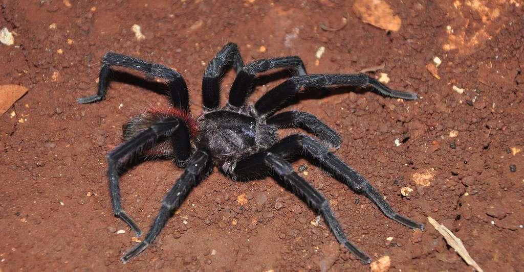 Araignée que l'on peut trouver dans la jungle. © Pavel Kirillov, Wikimedia commons, CC by-sa 2.0