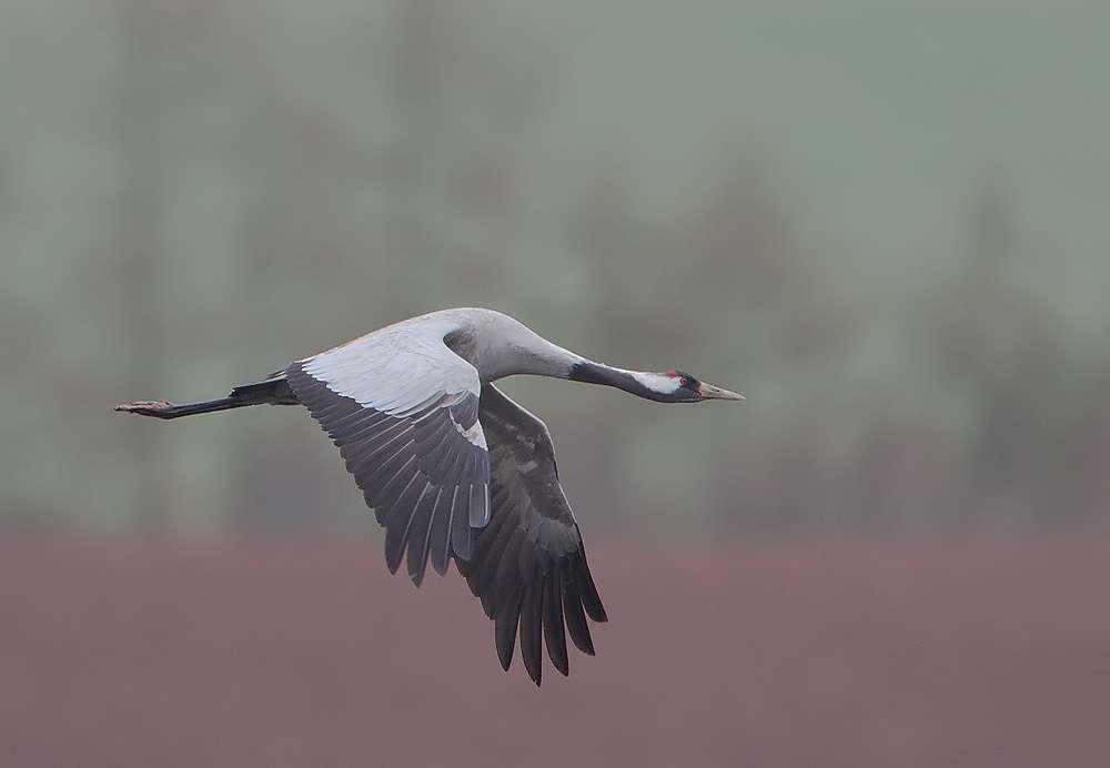 Grue cendrée adulte en vol. © Rainbirder, CC BY-NC-SA 2.0