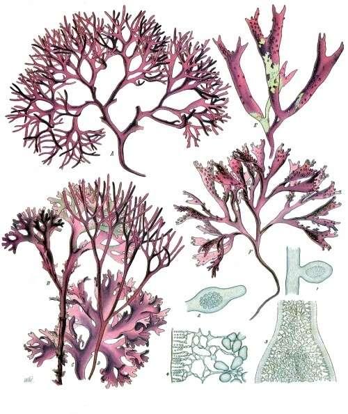 Parmi les découvertes, des espèces du genre Gelidium d'algues rouges, des Rhodophytes (ici, une planche illustratrice de Chondrus crispus). © Franz Eugen Köhler, Köhler's Medizinal-Pflanzen, domaine public