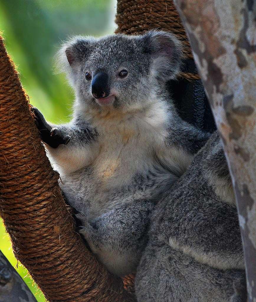 Le koala, le plus mignon des animaux d'Australie
