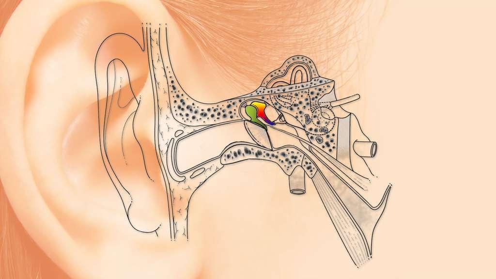 Les osselets dans l'oreille