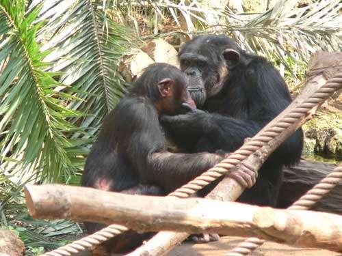 Toilettage chez le chimpanzé (Pan troglodytes) . © Marie Pelé - Reproduction et utilisation interdites