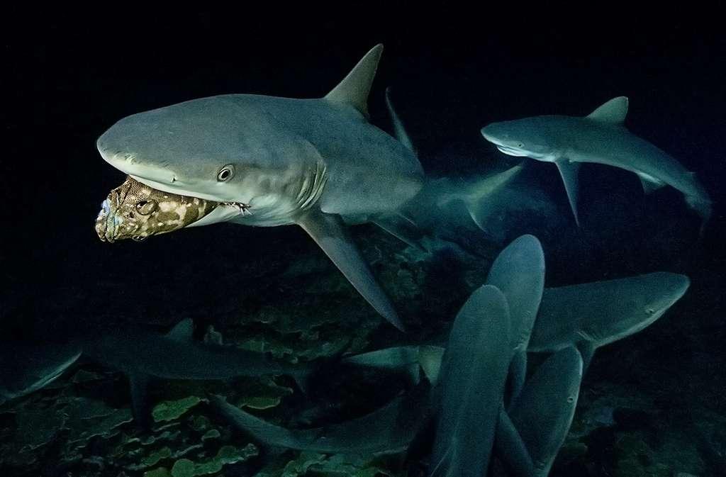 Un requin gris de récif a capturé un mérou lors d'un épisode de chasse nocturne à Fakarava. © Blancpain
