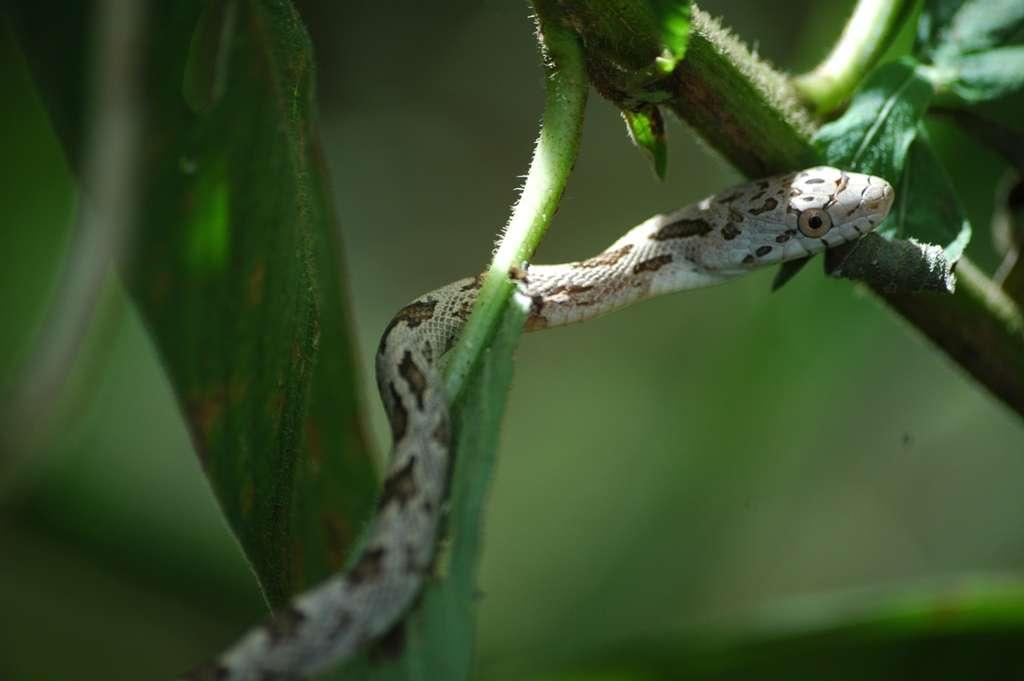 Un serpent de la famille des colubridés dans le parc des Everglades. Cette zone humide subtropicale fournit un cadre de vie agréable pour ces serpents. © vladeb, Flickr, CC by-nd 2.0