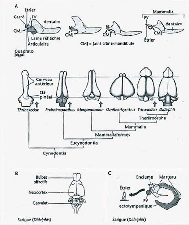 Coévolution de la mandibule et des osselets de l'oreille moyenne avec le cerveau tracée en regard de la séquence phylogénétique des mammifères. © Jean-Louis Hartenberger